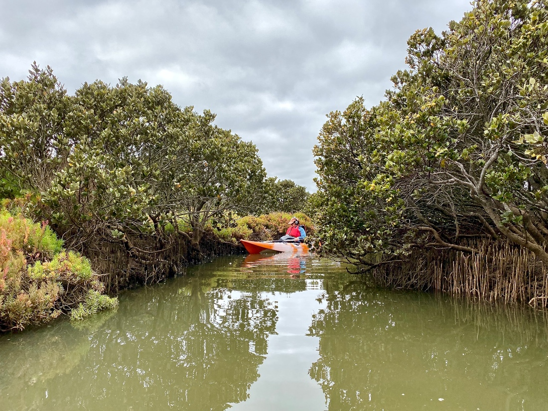 Ros Bandt in the Mangroves – photo: Vicki Hallett